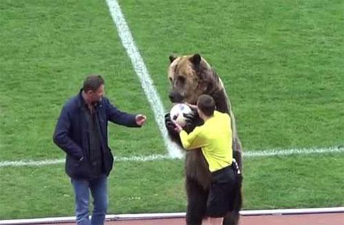 Gấu xuất hiện trên sân bóng ở Nga - ảnh 1