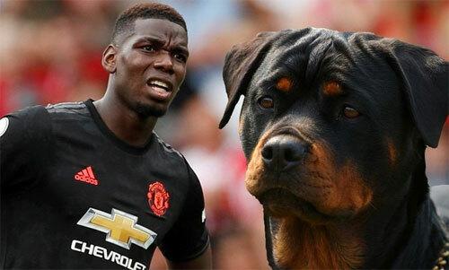 Pogba chi gần 20.000 USD mua chó bảo vệ - ảnh 1