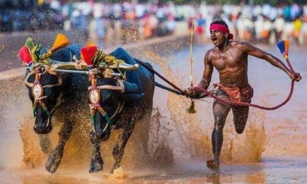 Công nhân Ấn Độ được ví như Usain Bolt của môn đua trâu - ảnh 2